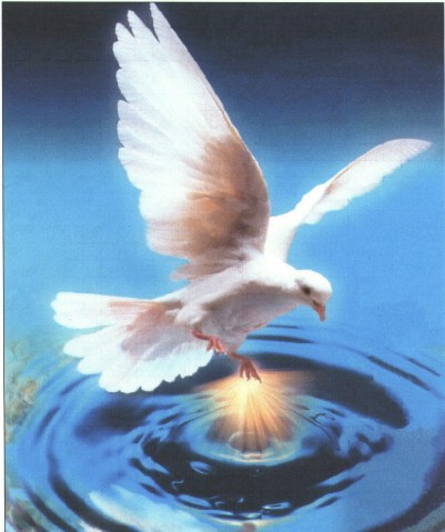 dove on water