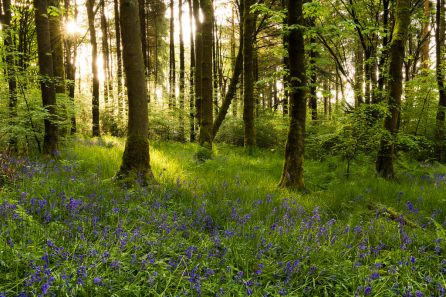 Bluebell Woods Entwistle by _Danoz