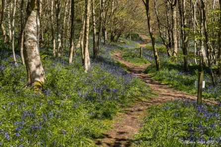 Muncaster Castle Bluebell woods by Maria-H