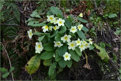 wild primrose near Keswick, Lake District by David Brockhurst