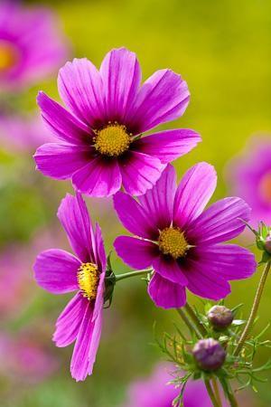 Annual, Cosmos Bipinnatus, Summer Colour, Versailles