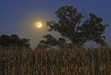 The full moon rises over a mature field of corn in Money Creek Township; McLean County, Illinois.