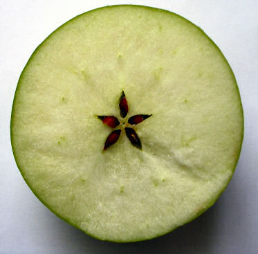 apple-cut-across-equator
