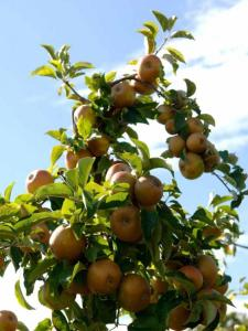 egremont-russet-apples