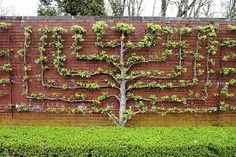 espalier-apple-tree-on-wall-at-highgrove