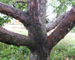 apple-tree-trunk-at-bolton-orchards-bolton-massachusetts-by-russell-steven-powell
