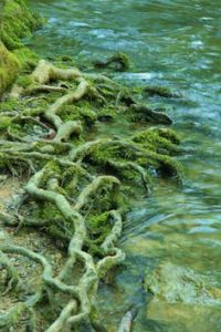 tree-roots-on-a-river